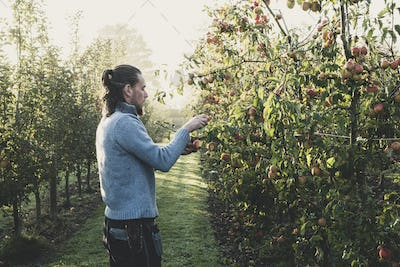 Man standing in apple orchard, picking apples from tree. Apple harvest in autumn.