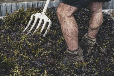 Close up of man with pitchfork standing in a vat of black grapes.