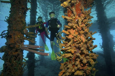 Scuba divers view an assortment of sponges that are growing on the pilings under a pier in the