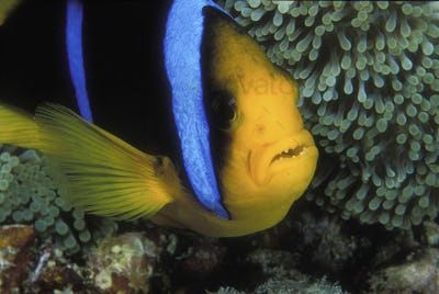 Close-up of Orange-fin anemonefish underwater