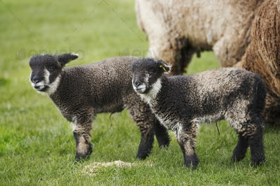 A mature sheep and two young black and white lambs in a field.