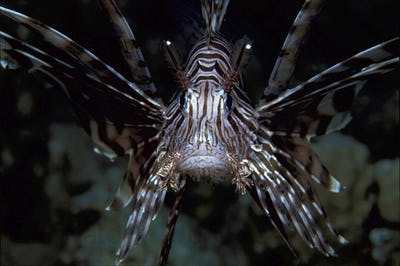Close-up of Lionfish underwater with spines outstretched