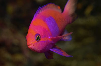 Squarespot anthias, Pseudanthias pleurotaenia, a brightly coloured fish on a reef.
