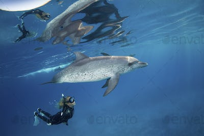 Freediver snorkels with pod of friendly Atlantic spotted dolphins,
