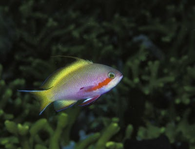 A threadfin Anthias fish above a coral reef.