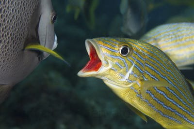 A bluestriped grunts opens his mouth as an invitation to the Gray angelfish.  In this type of
