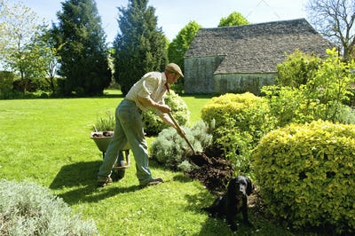 A man gardening, using a fork to add mulch and fertiliser to soil around mature shrubs.
