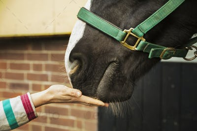 A person with her hand flat feeding a treat to a horse.