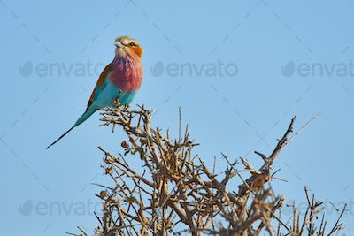 A colourful bird, a Lilac-breasted roller, Coracias caudatus perched on a thorny bush.