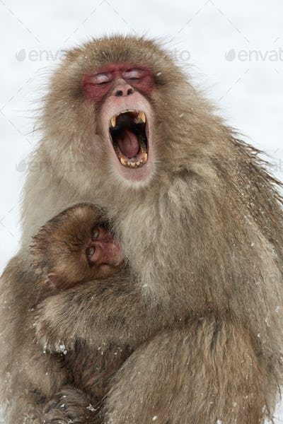 Japanese Macaque (Macaca fuscata), mother and young snow monkey huddling together, the adult monkey