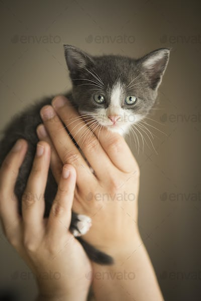 A small grey and white kitten being held in a person's hands.