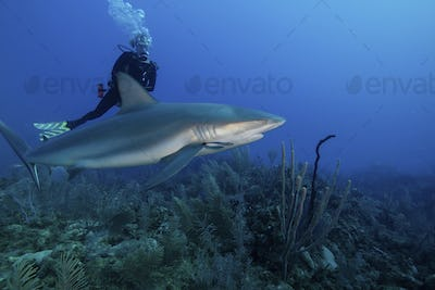 Scuba diver swimming with a Caribbean reef shark.