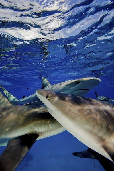 Caribbean reef sharks (Carcharhinus perezi),Feeding activity, Reef sharks.