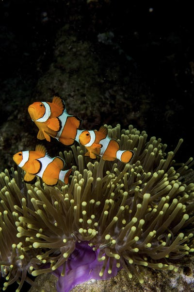 False clown anemonefish living in a Magnificent sea anemone (Heteractis magnifica).
