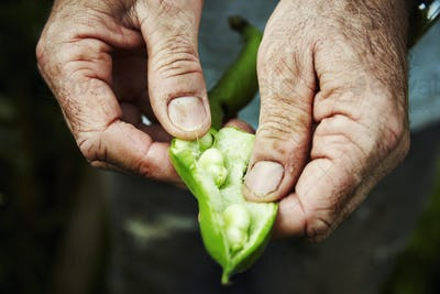A gardener holding and prising open a bean pod to show fresh green broad beans.