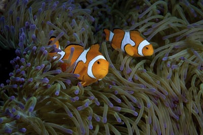 A pair of False clown anemone fish, Amphiprion ocellaris, amid the purple tipped tentacles of a