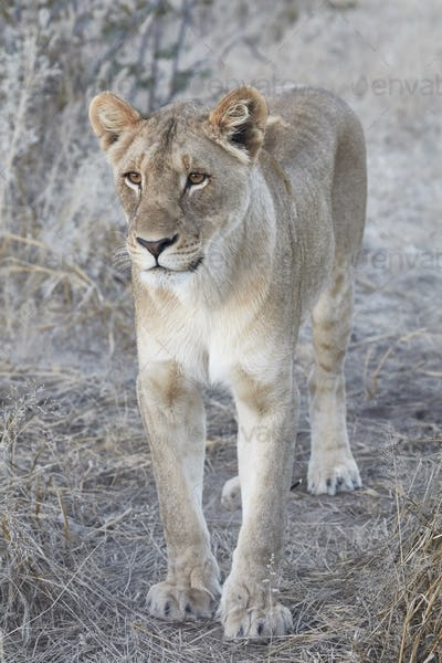 Lion, panthera leo, walking through grassland.