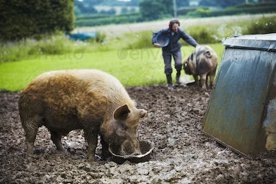 A pig eating from a bucket, a woman and a pig in the background.