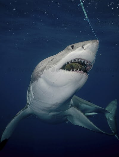 Great white shark (Carcharodon carcharias), with mouth open.