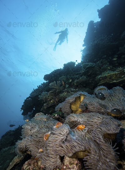 Diver descends on an underwater wall to a lush field of hard corals and anemones.