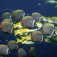 A mixed school of Collare butterflyfish, Chaetodon collars, and Blue-lined snapper, Lutjanus kasmira