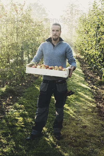 Man standing in apple orchard, holding crate with apples. Apple harvest in autumn.