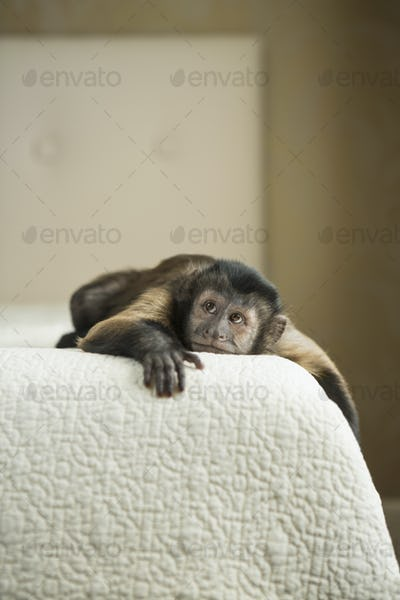 A capuchin monkey lying on a bed in a domestic home.