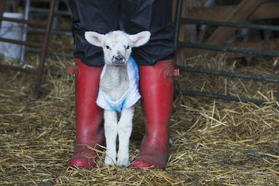 Newborn baby lamb dressed in a knitted jumper standing between the legs of a person wearing red