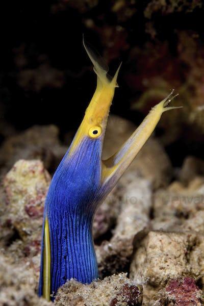 An elegant Ribbon eel (Rhinomuraena quaesita) protrudes from coral rubble