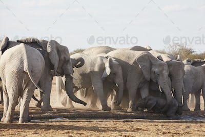 Herd of African elephants, Loxodonta africana, standing at a watering hole in grassland.