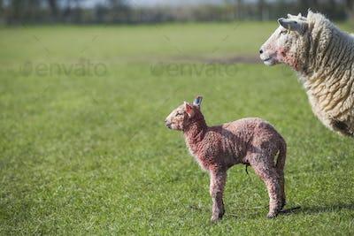 Ewe and a newborn lamb standing in a field of grass.