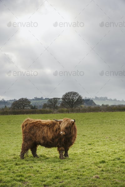 A cow with shaggy red coat and long horns in a field on an open landscape.