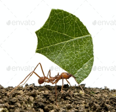 Leaf-cutter ant, Acromyrmex octospinosus, carrying leaf in front of white background