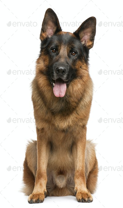 German Shepherd Dog, 3 years old, sitting in front of white background