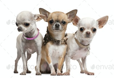 Chihuahuas, 2 years old, standing in front of white background