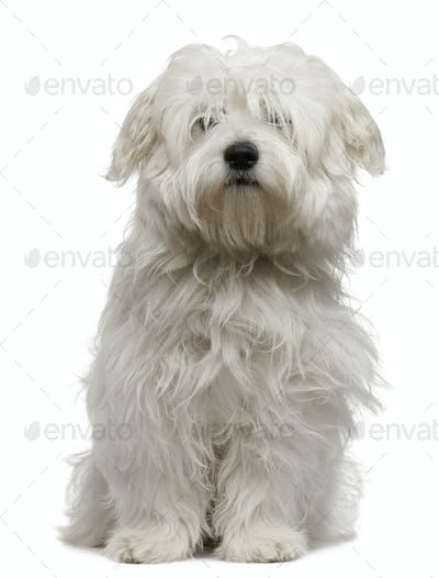 Coton de Tulear puppy, 5 months old, sitting in front of white background