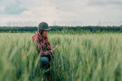 Wheat farmer and agronomist inspecting cereal crops quality in cultivated agricultural field
