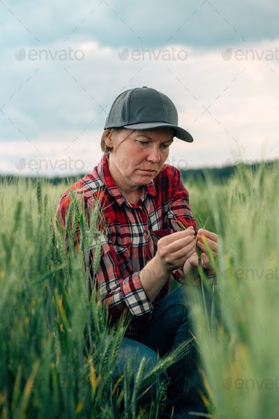 Concerned wheat farmer and agronomist inspecting cereal crops quality in cultivated field