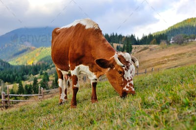 Brown cow with a white pattern on a mountain pasture. Foggy autumn morning in the Carpathians