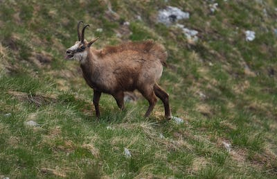 Chamois running up the hill in the mountains