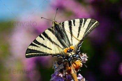 Top view of scarce swallowtail sitting on violet flower in summer