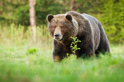 Surprised brown bear coming closer on green glade in summer nature
