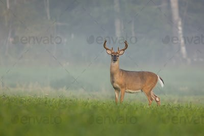 White-tailed deer buck watching on green meadow in summer misty morning