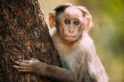 Goa, India. Young Bonnet Macaque - Macaca Radiata Or Zati Sitting On Tree. Close Up Portrait Of Cub