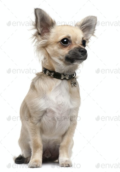 Chihuahua puppy, 6 months old, sitting in front of white background
