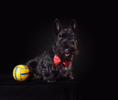 Scotch terrier puppy