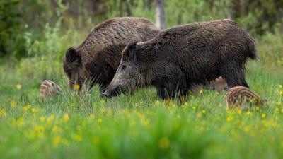 Peaceful wild boar herd standing on meadow with blooming flowers