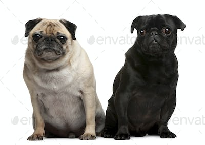 Pug, 5 years old, Pug, 4 years old, sitting in front of white background
