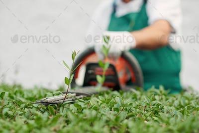 Close up of gargener trimming bushes