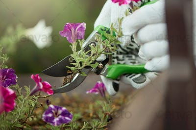 Male hands pruning flowers outdoors